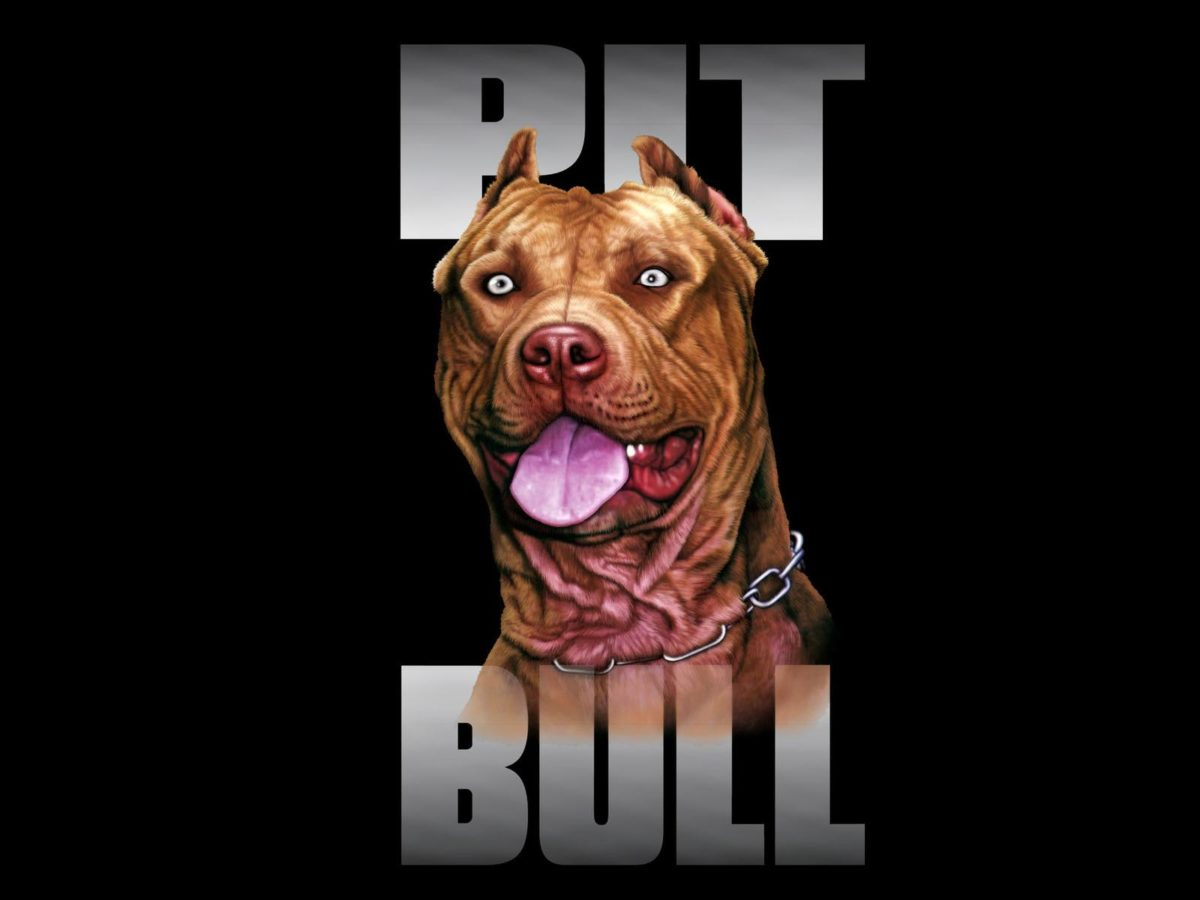 pit bull dog breed wallpaper – Animal Backgrounds