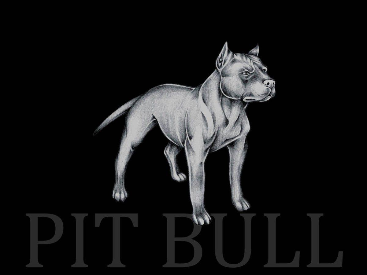 Pit bull wallpaper wallpaper
