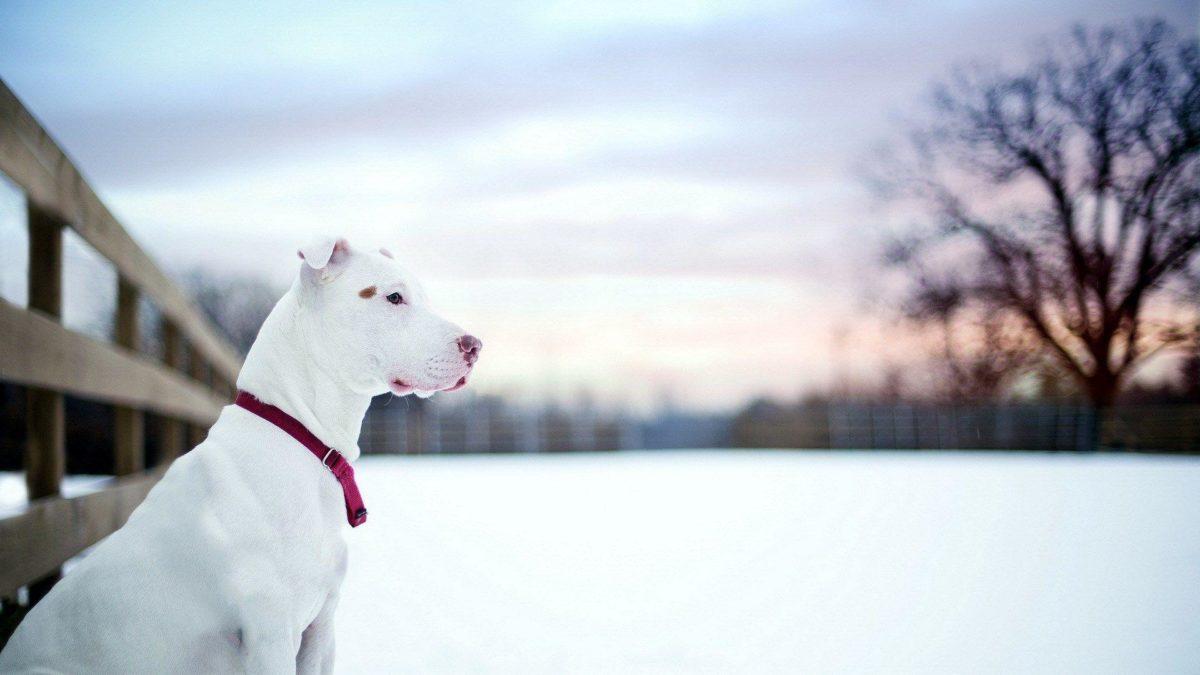 Pit Bull Dog Friend Winter Snow Fence HD Wallpaper – ZoomWalls