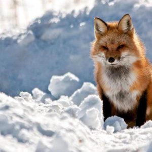 download THE RED FOX Wallpaper – Animal Backgrounds