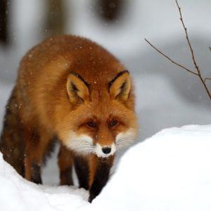 download Winter Snow Red Fox Wallpaper