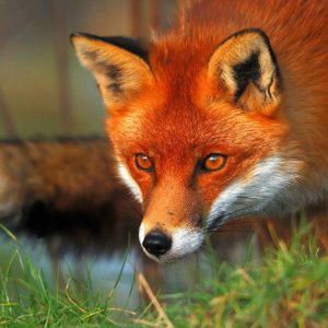 download Red fox eyes Wallpapers | Pictures