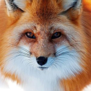 download Close up photo of a red fox   HD Animals Wallpapers
