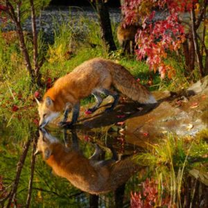 download Wallpapers For > Red Fox Wallpaper National Geographic