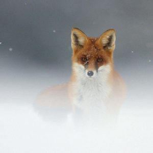 download Most Downloaded Fox Animal Wallpapers – Full HD wallpaper search