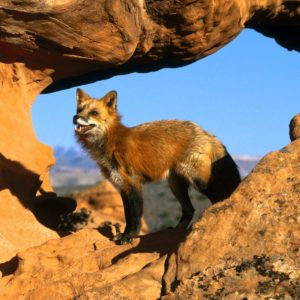 download Fox Animal HD Wallpapers | Red Fox Animal Pictures | Cool Wallpapers