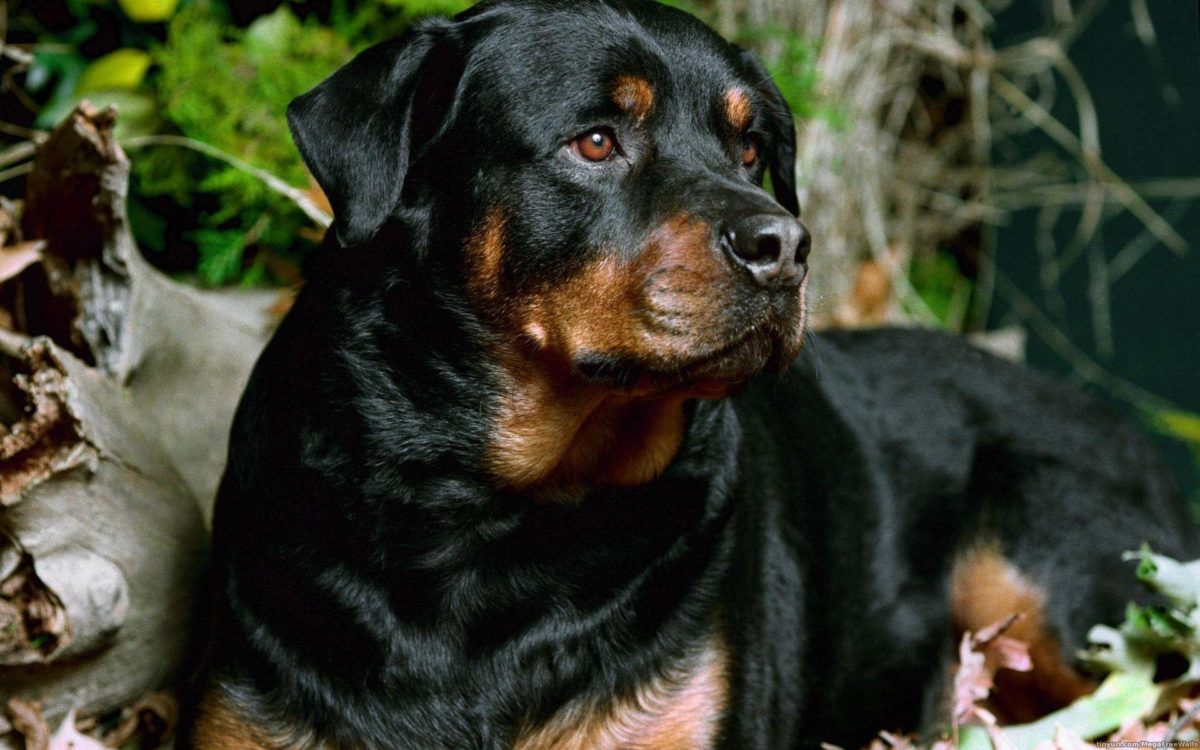 10 Rottweiler Wallpapers | Rottweiler Backgrounds