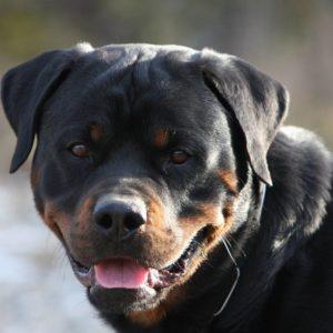 download Rottweiler Wallpaper HD 2 – Dogs Wallpaper