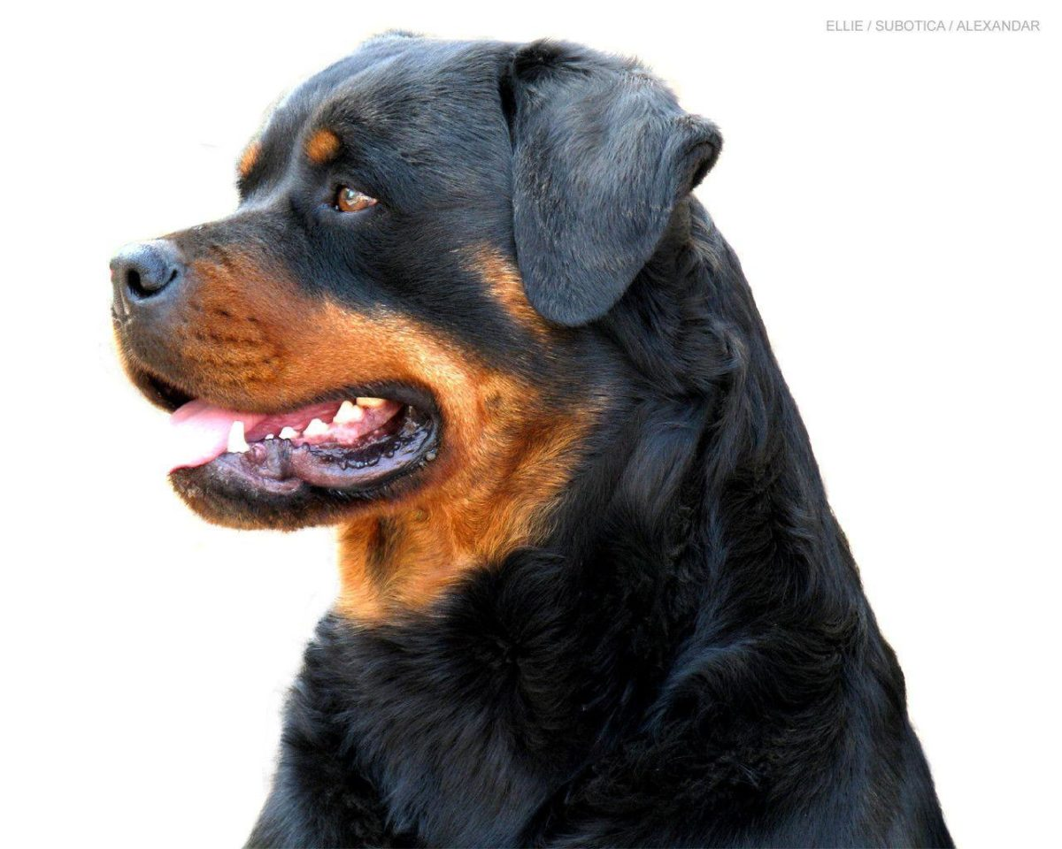Beautiful Rottweiler – Rottweiler Wallpaper (13379005) – Fanpop