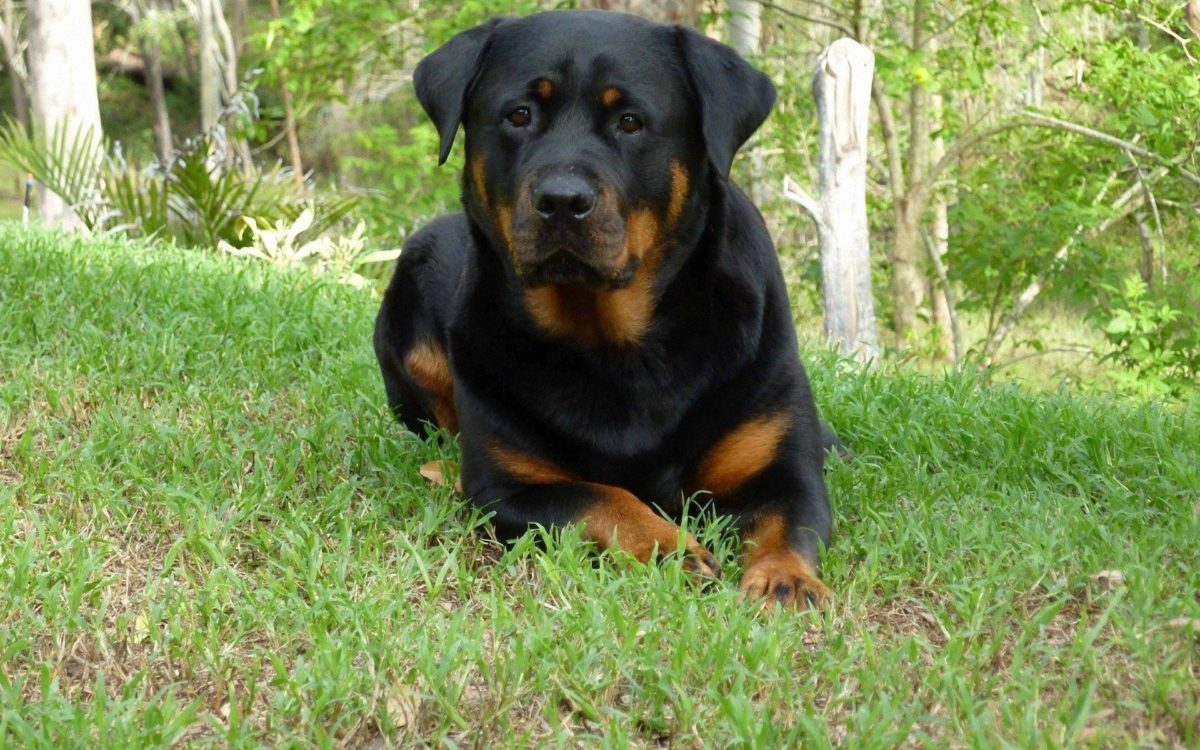 Rottweiler Wallpapers – The Dog Wallpaper – Best The Dog Wallpaper