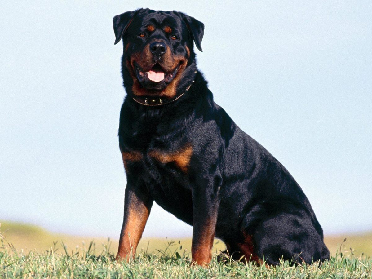 Rottweiler Dog – IMASHON.COM