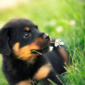 download Rottweiler Dogs HD Wallpapers – HD Wallpapers Inn