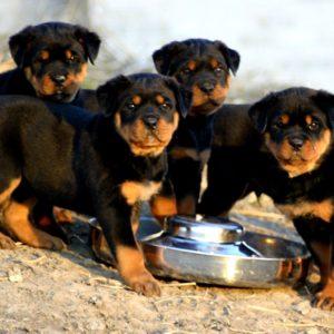 download Cute rottweiler puppies eating wallpaper