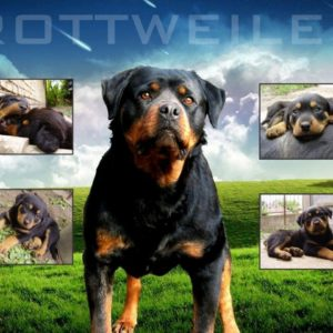 download Cool Rottweiler Wallpaper Images & Pictures – Becuo