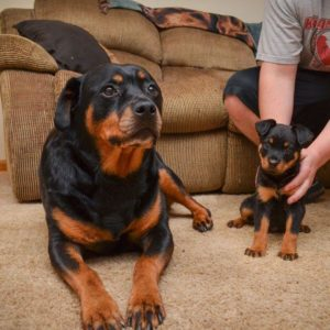 download Mother and baby of rottweiler wallpaper