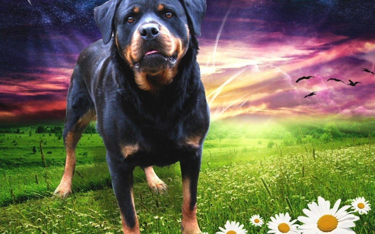 Rottweiler 58344 – Dog Wallpaper