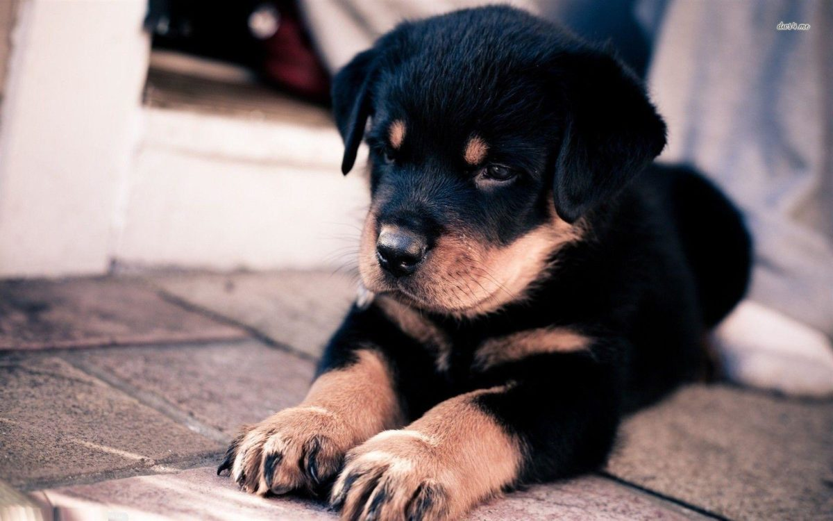 Rottweiler puppy wallpaper – Animal wallpapers – #