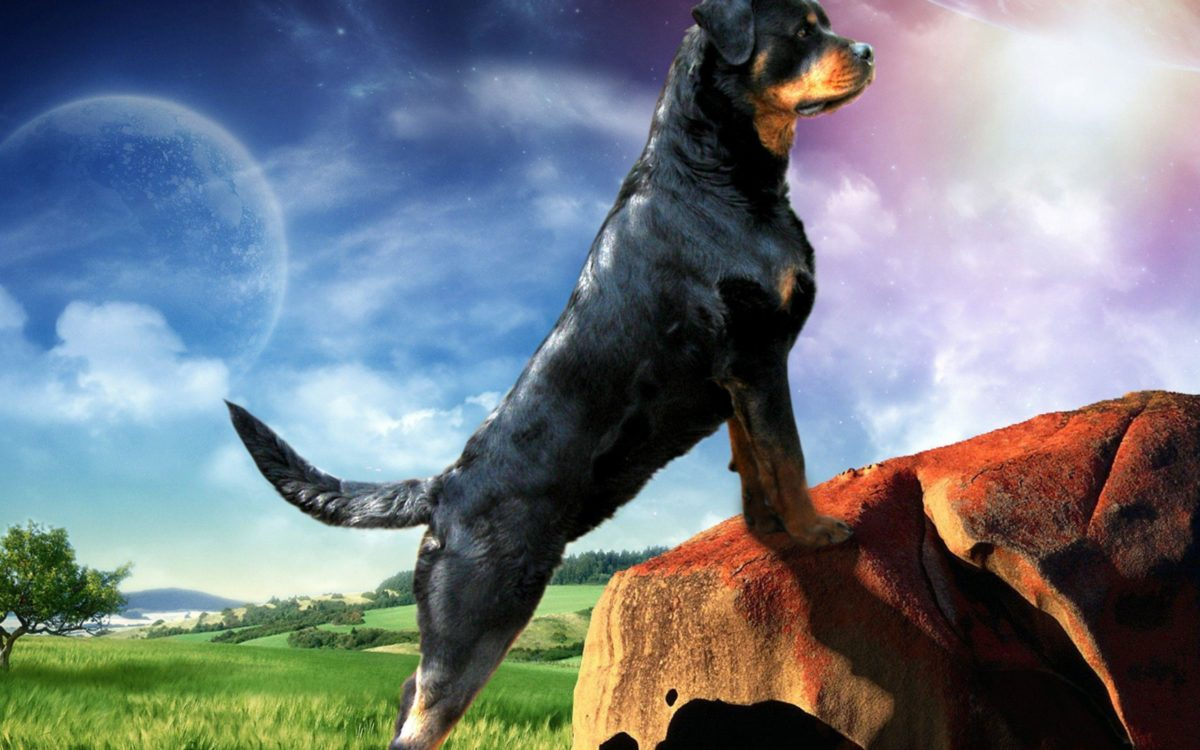 Rottweiler Ellie Guard 39871 – Dog Wallpaper