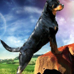 download Rottweiler Ellie Guard 39871 – Dog Wallpaper
