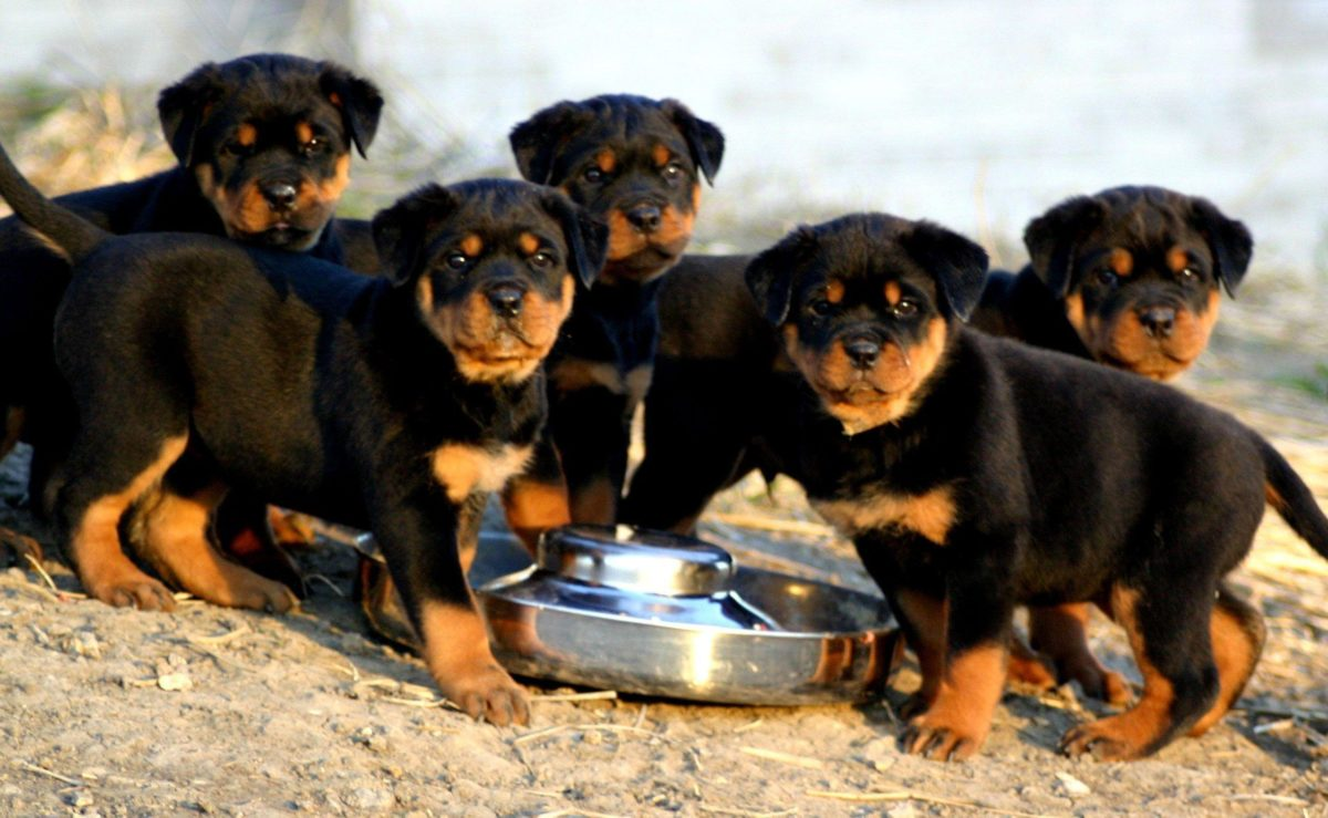 Rottweiler Hd Background Wallpaper 36 HD Wallpapers | www …