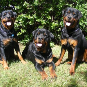 download Images For > Rottweiler Wallpaper