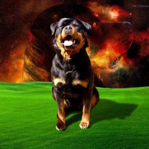 download Rottweiler Wallpaper 1280x1024PX ~ Wallpaper Rottweiler #43257