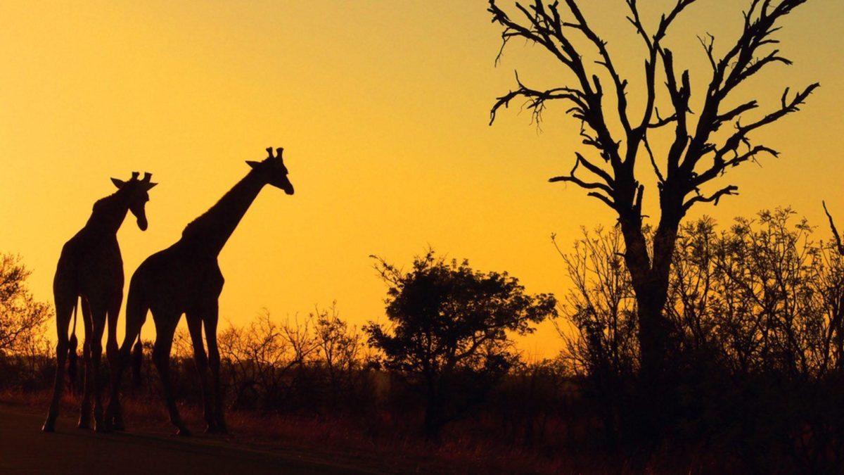 Fonds d'écran Safari : tous les wallpapers Safari