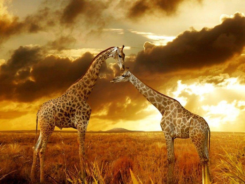 Best wallpaper of Giraffes at Safari 1024×768   Finest Wallpapers