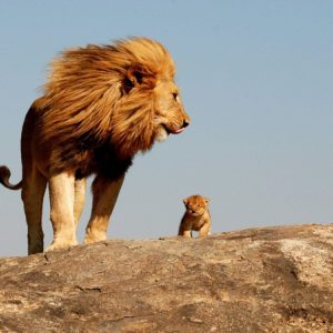 download Lion, king, safari, savage wallpapers and images – wallpapers …
