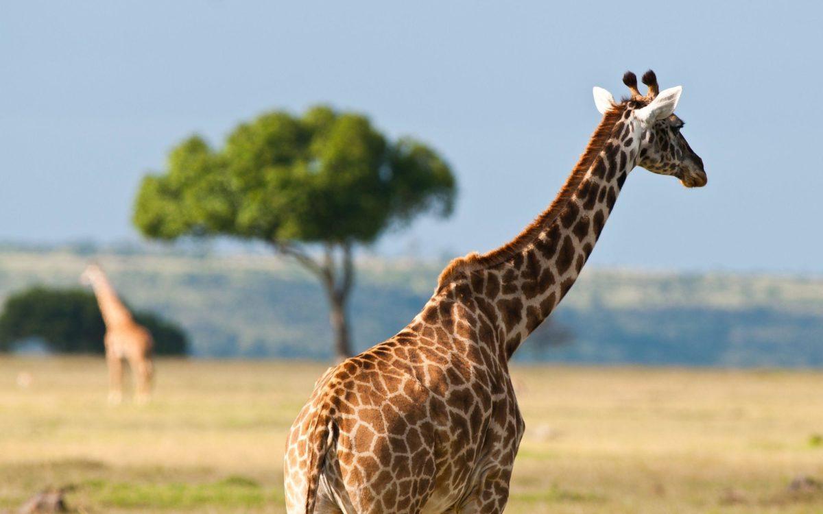 Giraffe In The Safari – Wallpapers AM