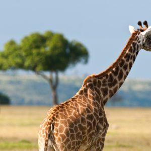 download Giraffe In The Safari – Wallpapers AM