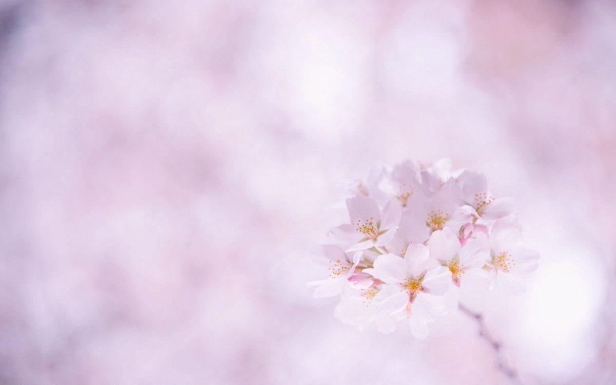 Sakura Flower wallpaper – 832434