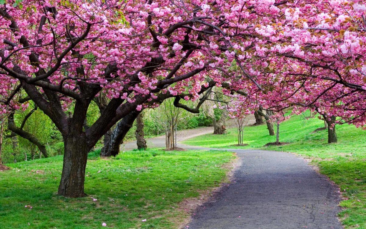 Cherry Blossom Tree wallpaper – 1106819