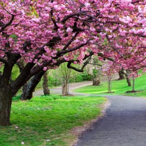 download Cherry Blossom Tree wallpaper – 1106819