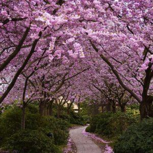 download White Cherry Blossom Wallpaper | Wallpaper Download