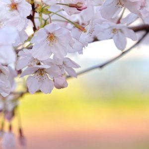 download sakura flower HD wallpaper pics   Wallpicshd