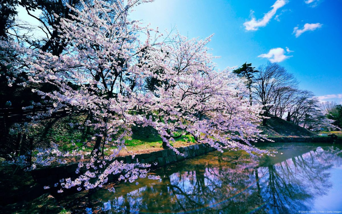 Cherry Blossom Wallpapers – Full HD wallpaper search