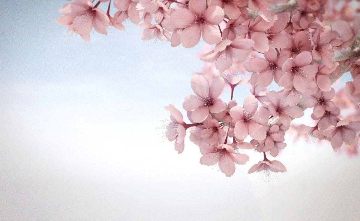 sakura flower HD wallpaper android | Wallpicshd