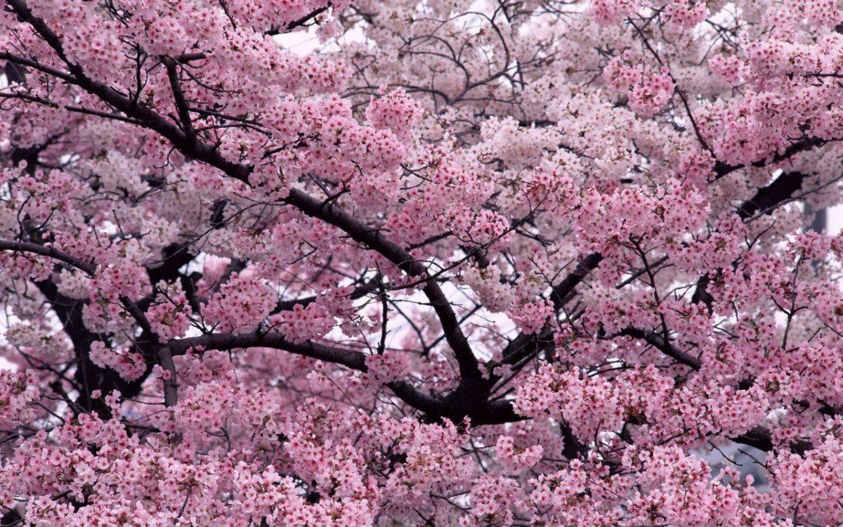 Sakura Flower with 1280×800 Resolution Wallpaper Download Logo And …