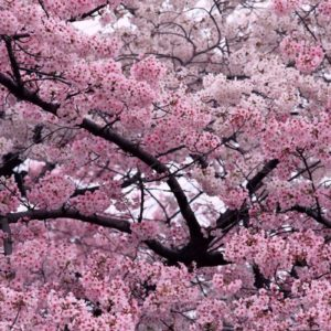 download Sakura Flower with 1280×800 Resolution Wallpaper Download Logo And …
