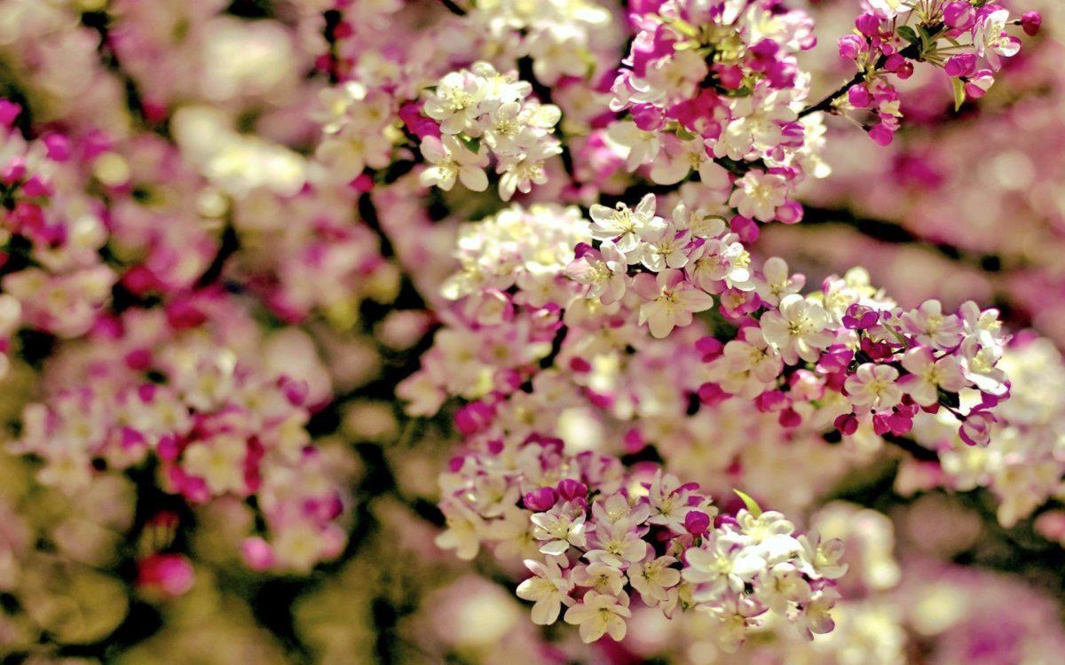 Cherry Blossom Tree wallpaper – 1113694