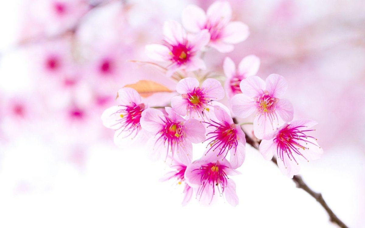 cherry_blossom_pink_sakura_ …