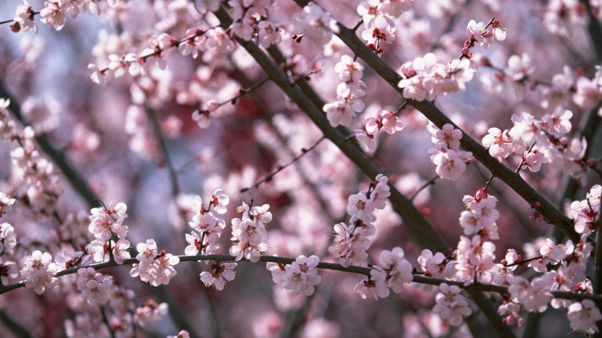 sakura_flower_blossom_hd_ …