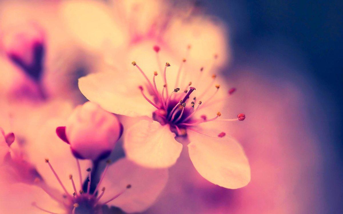 Sakura Flower Wallpapers – Full HD wallpaper search