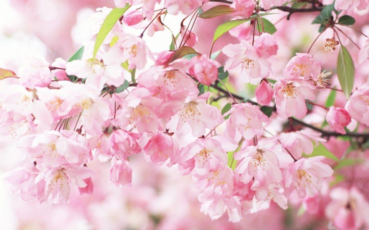 Sakura Flower wallpaper – 803294