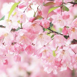 download Sakura Flower wallpaper – 803294