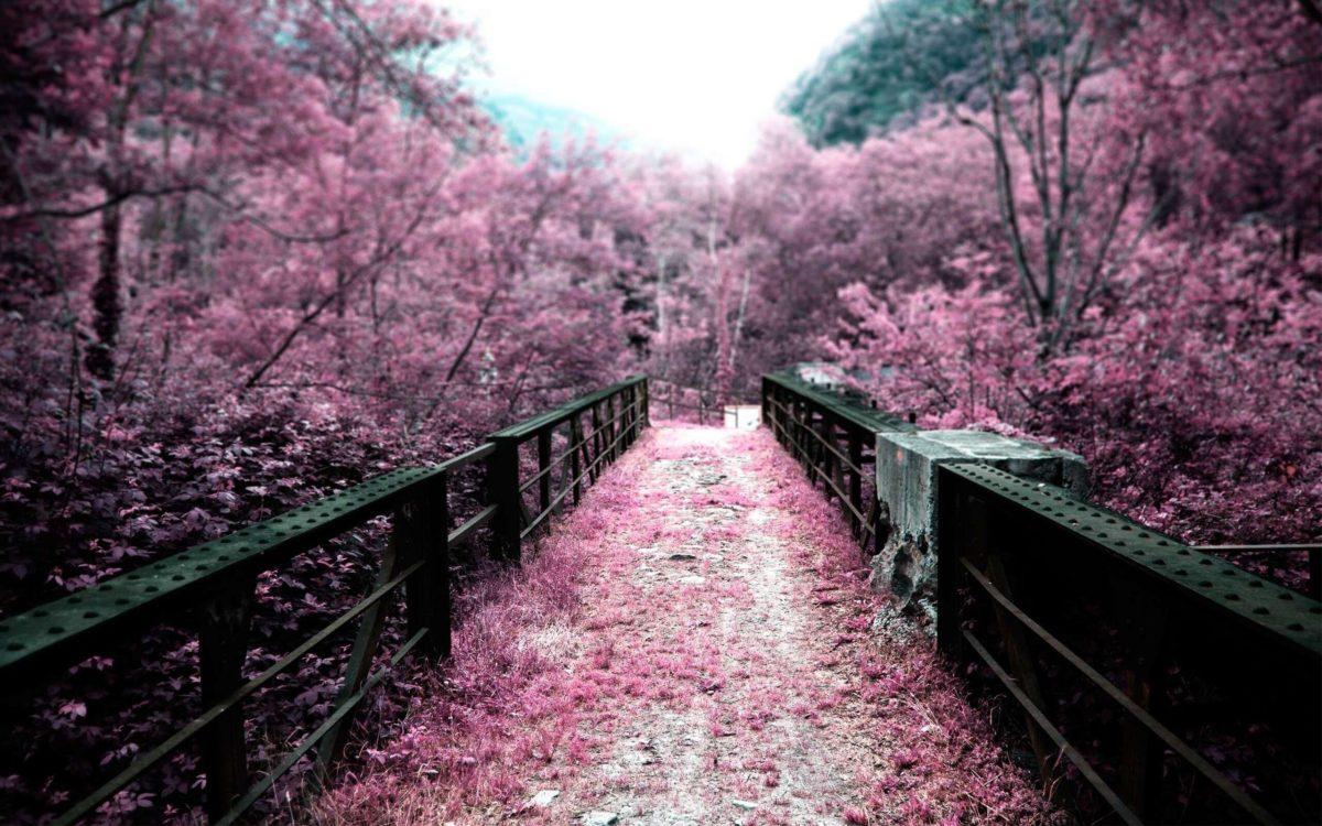 bridge_and_sakura_flower_ …