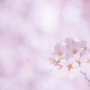 download Flower Wallpapers Cherry Sakura Flowers 1920×1 #2167 | HD Wallpapers
