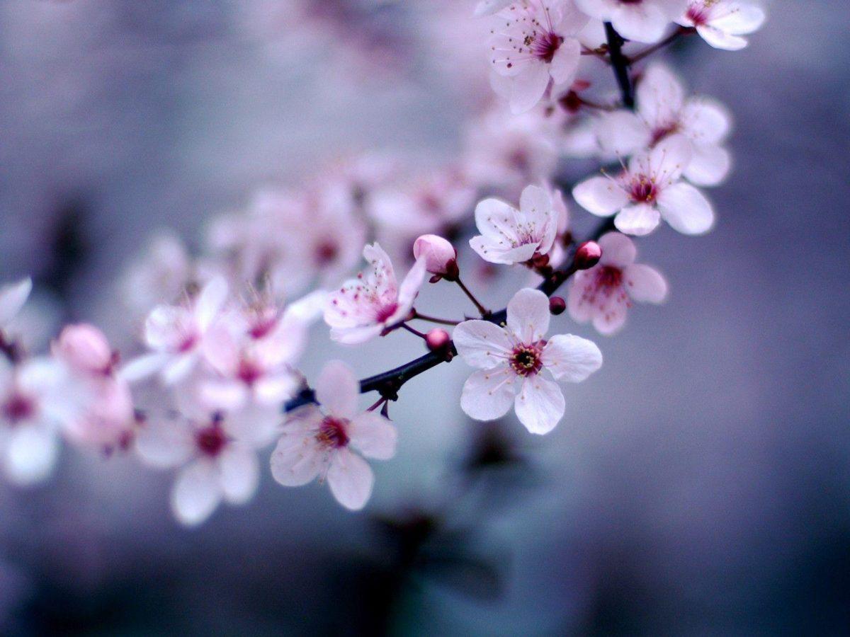 Cherry Blossom Sakura Flower Wallpaper #2194 | HD Wallpapers