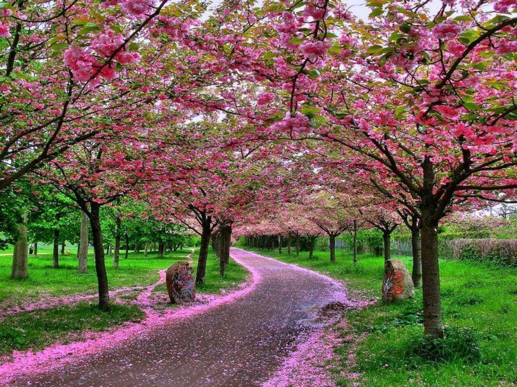 Best Sakura Wallpaper | Jesica